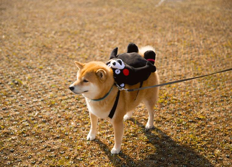 柴犬まる ,Japanese Shiba Maru,